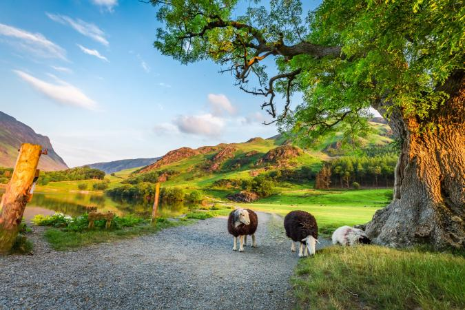 Classic Lake District  image - Curious sheeps on pasture in summer Lake District England small