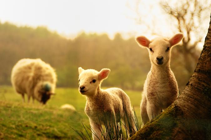 Holiday image - Spring Lambs