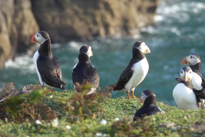 Holiday image - 0 Puffins on Puffin Island 2