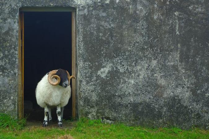 Holiday image - sheep 2543349 480