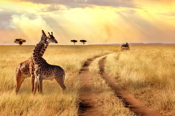 South African Safari image - Group of giraffes in a National Park. Sunlight landscape. small