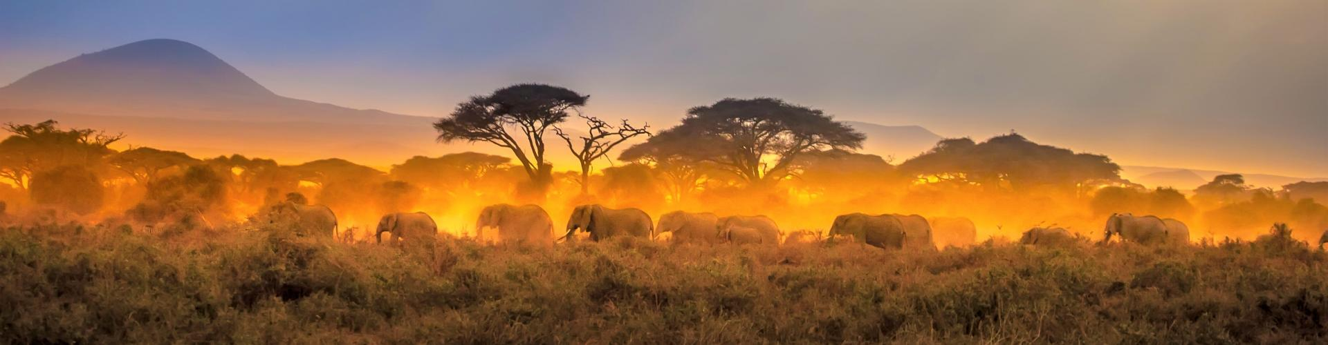Migration of elephants. Herd of elephants. Evening in the African savannah. 2